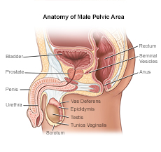 anatomy of male pelvic area